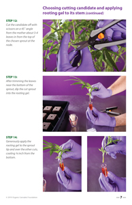 image: Cultivating Wisdom: How To Make Cannabis Cuttings Page Seven